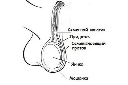 Тяжлые груди яйца орган член
